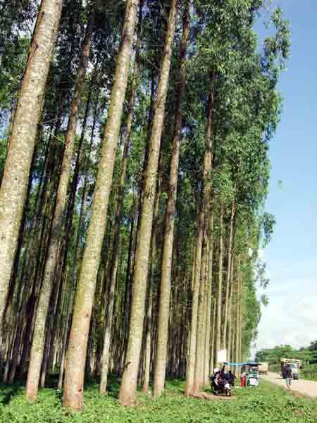 gambar pohon akasia tua tinggi