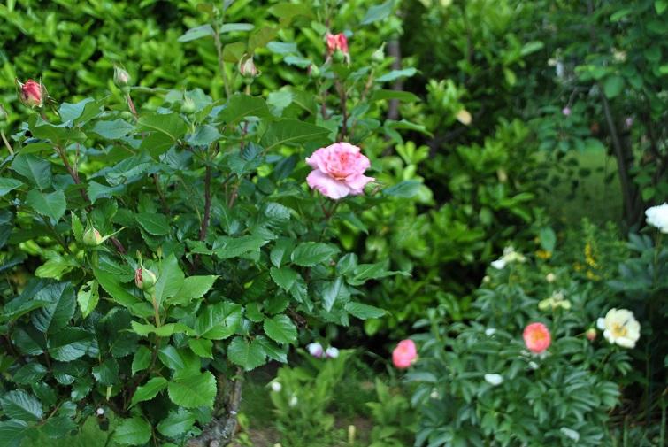 Pfingstrosen im Garten