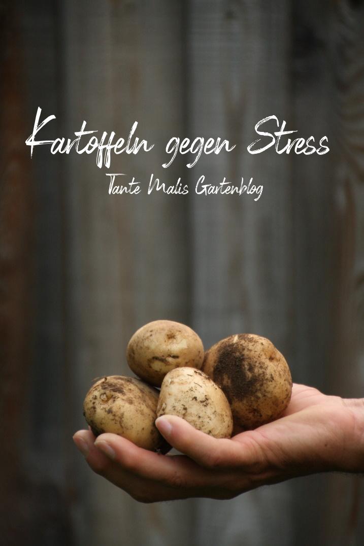 frisch geerntete Kartoffeln in Hand