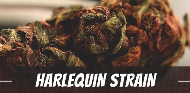 harlequin strain cannabis thc cbd
