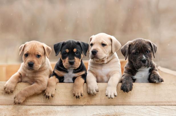 Sejarah Umum Tentang Hewan Peliharaan Anjing