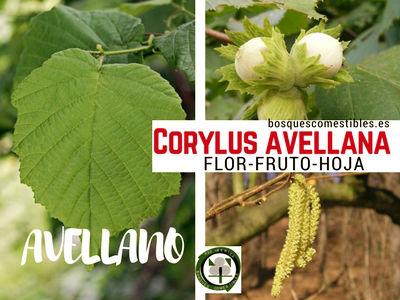 Crylus avellana, Avellano, imagen de la flor, fruto (Avellanas) y hoja.