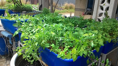 Hệ thống trồng rau nuôi cá tại nhà