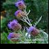 Rau ca đông (Cynara cardunculus,CYN00149)