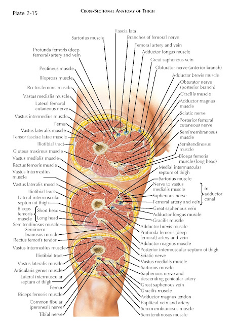 CROSS-SECTIONAL ANATOMY OF THIGH