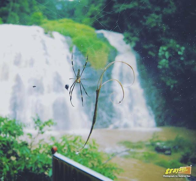 A Spider lurks at Abbi Waterfalls in Coorg, Kodagu district