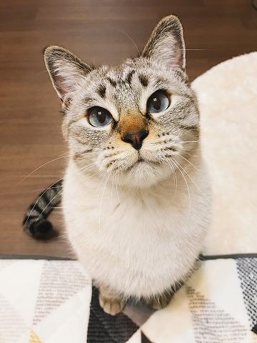 お座りしてじっと見つめてくるシャムトラ猫