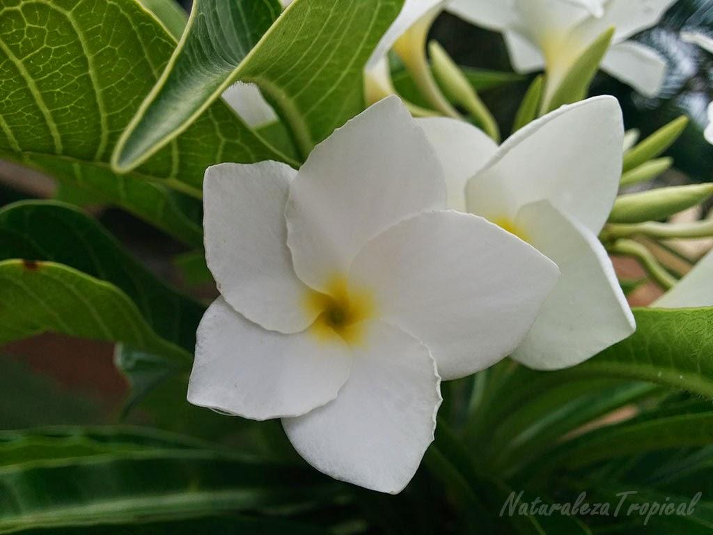 Flor blanca con centro amarillo del género Plumeria