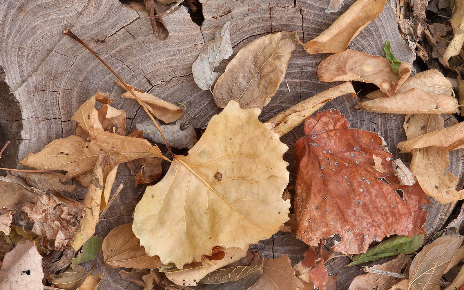 Wallpapers Withered Leaves Wallpapers