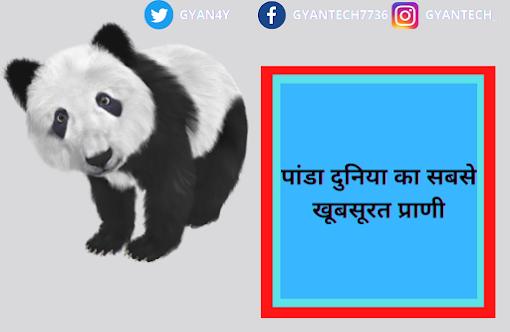 Giant Panda Information In Hindi
