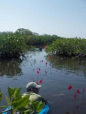Gli archeologi della LSU hanno scoperto nel 2004 i primi resti di antichi edifici Maya di cucina salata fatti di palo e paglia che erano stati sommersi e conservati in una laguna di acqua salata in una foresta di mangrovie in Belize.