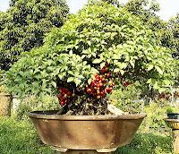 Mengenal Pohon Loa / Ara Ficus Racemosa yang bisa di Bonsai