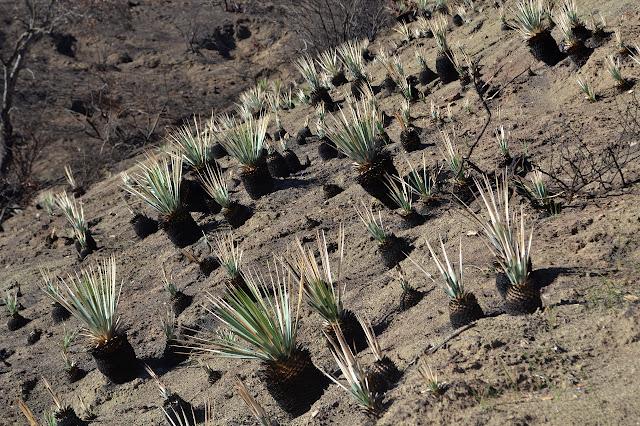 burned yucca plants