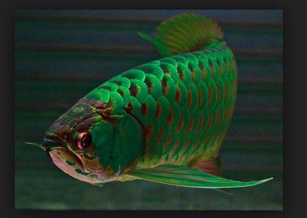 Download 85 Background Aquarium Arwana Jardini HD Terbaik