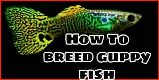 How to breed Guppies at home