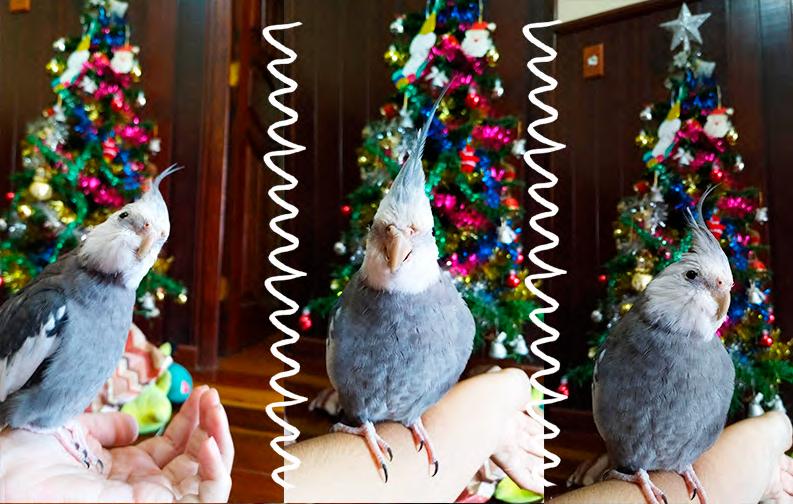 A imagem mostra uma calopsita, de cor cinza, com a cara branca, em frente a uma árvore de Natal
