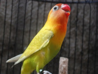 Makanan Lovebird Agar Gacor Terus