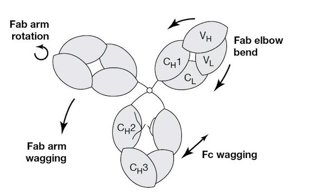 Modes of flexibility in the IgG (human IgG1) molecule