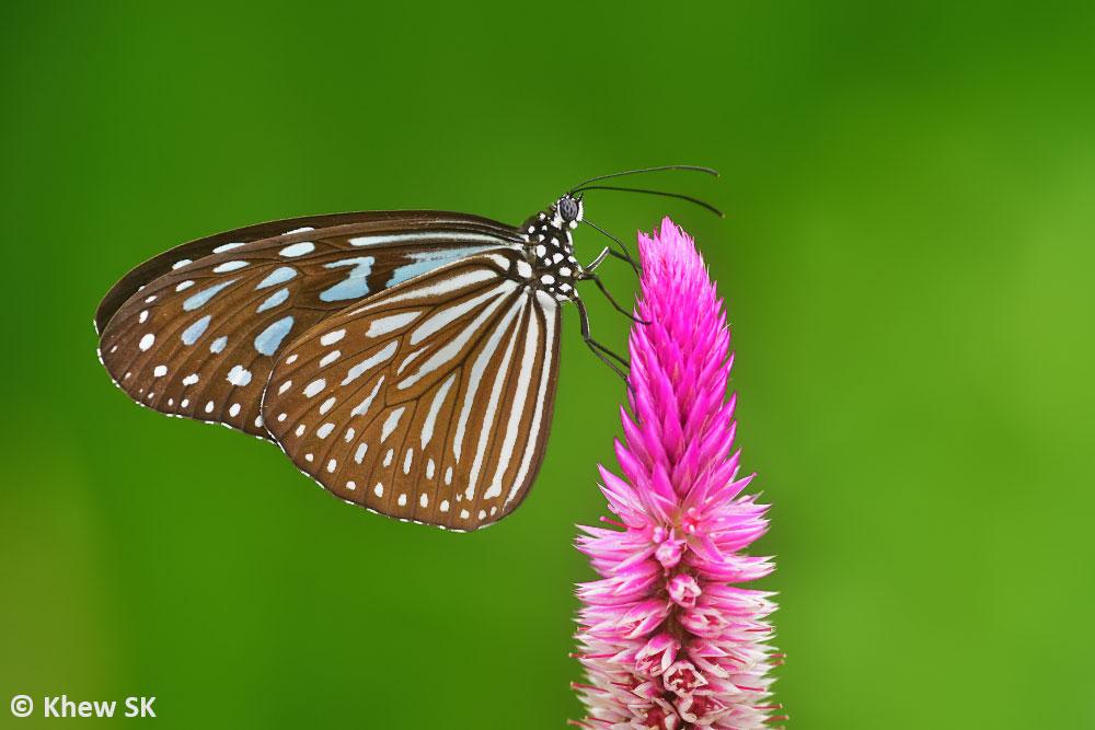 Butterflies Of Singapore Feb 17 2019
