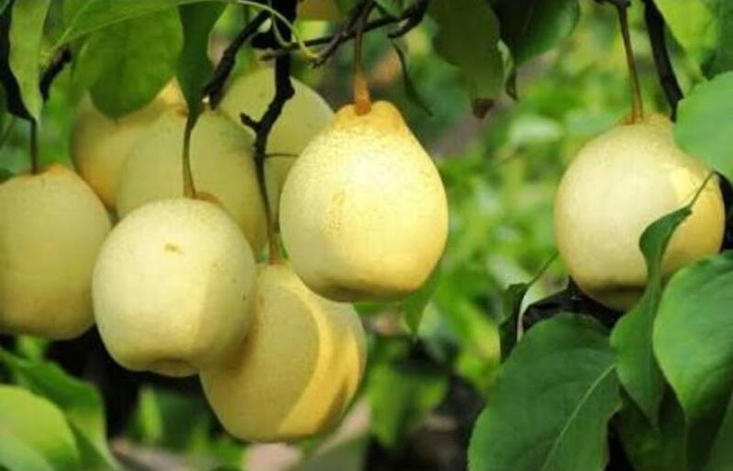 Bibit buah pir asia pir kuning Parepare