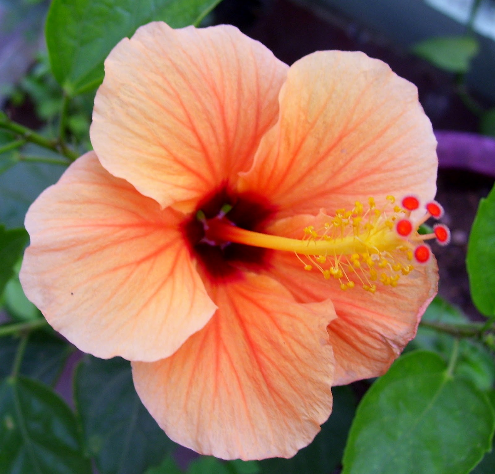 Hibiscus rosa-sinensis - Wikipedia