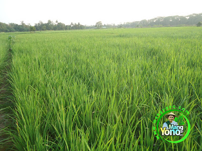 FOTO 2 : Tanaman Padi TRISAKTI 38 HST di Sawah Rawa.   Tampak dari atas pun tanaman padi TRISAKTI rimbun