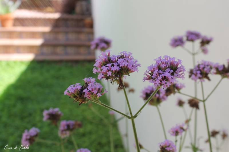 Verbena bonariensis en el jardín