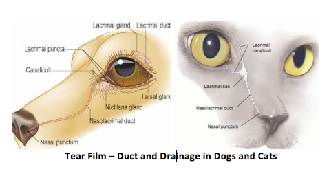 Dog infected tear duct