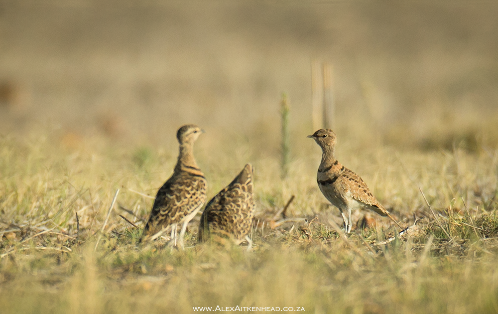 Double Banded Courser, Rhinoptilus Africanus, Malmesbury, Western Cape, Rare Bird Findings, Alex Aitkenhead, Photography, Trevor Hardaker, Lifer, Birds, Bird Photography, Breeding birds, Cape Town, South Africa.