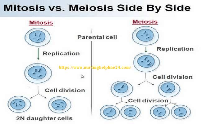 Mitosis vs miosis