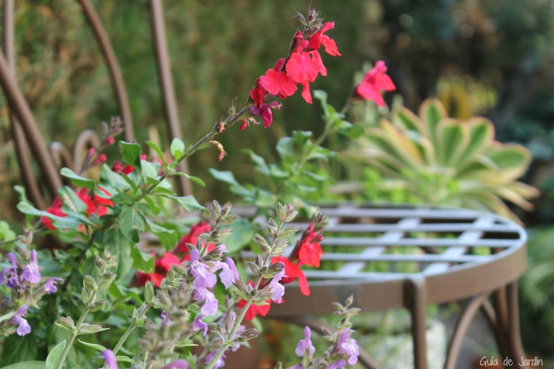 Salvia officinalis y salvia microphylla