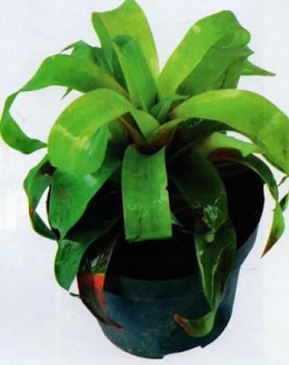 Neoregelia Vriesea