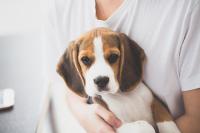 A beagle puppy is held by a person in a white shirt