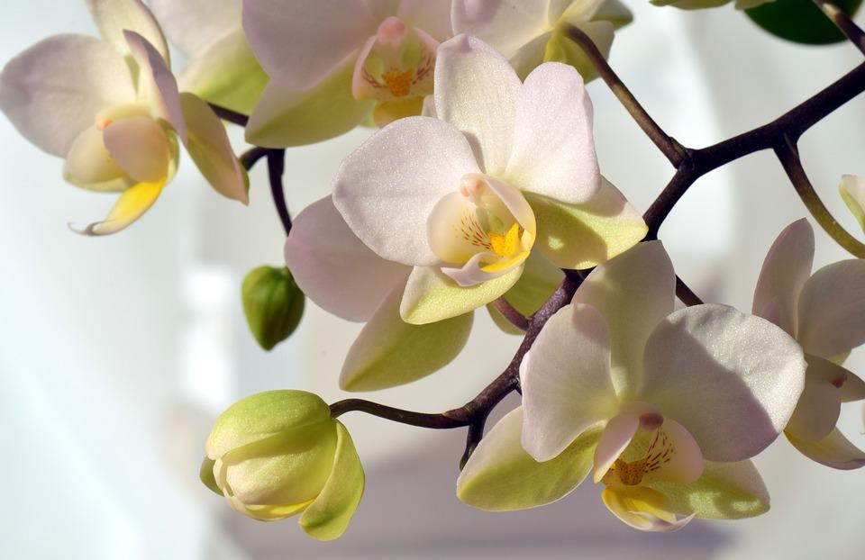 De ce cad bobocii orhideei, înainte de a înflori