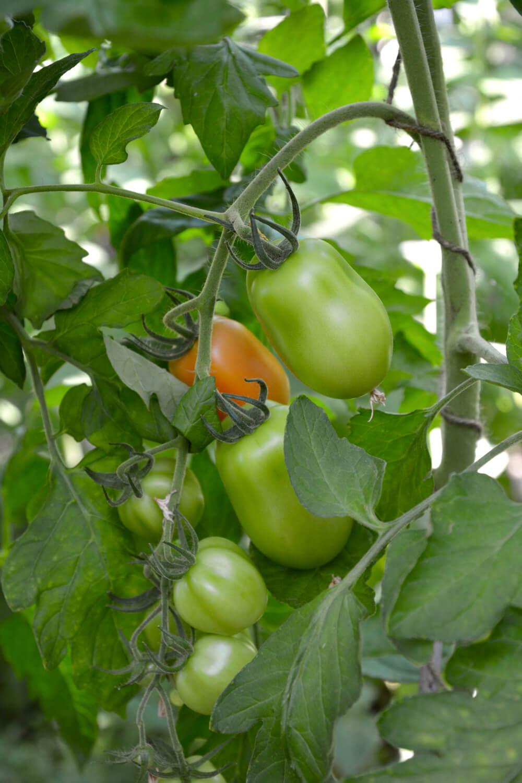 olivade-tomaatti