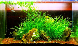 Jenis Tanaman Karpet Aquascape Pygmy Chanin Sword