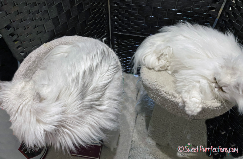 two silver shaded Persian Cats, sleeping on top of cat trees