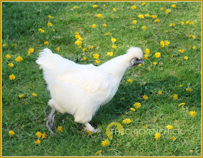 Sick chickens should not be treated with any medication without knowing the cause of the symptoms; randomly medicating a sick bird can make their condition worse, create new problems and cloud the ability to determine the real problem.