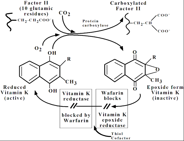 Interferes with the cyclic interconversion of vitamin K and its 2,3epoxide (vitamin K epoxide).