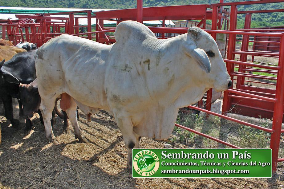 toro semental raza Brahman Blanca