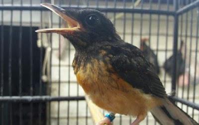 Gambar Burung Murai Batu Waspada Binatang Beracun Pembunuh Burung Kicau