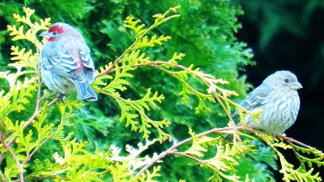 House Finch Breeding Pair