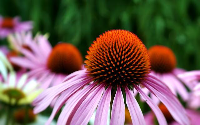 Echinacea flower image