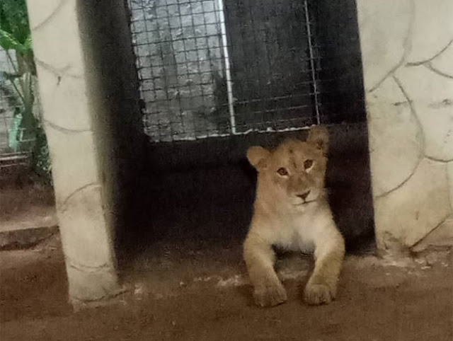 Indian Keeps Lion At Residential Building In Lagos (Photos)