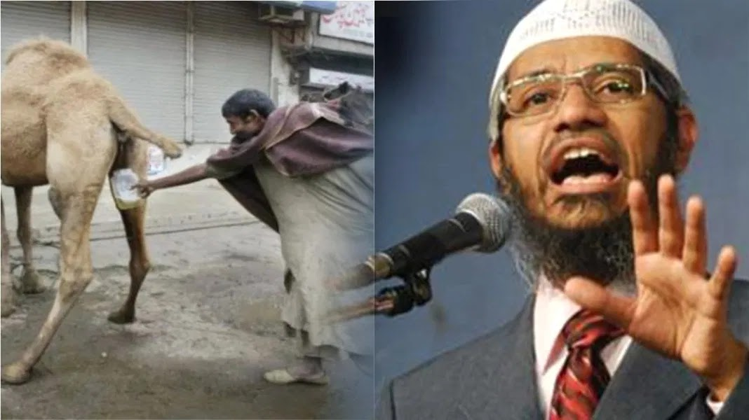 Zakir Naik said benefits of drinking camel urine! The video is viral