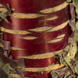 Árboles y arbustos con atractivas cortezas en invierno