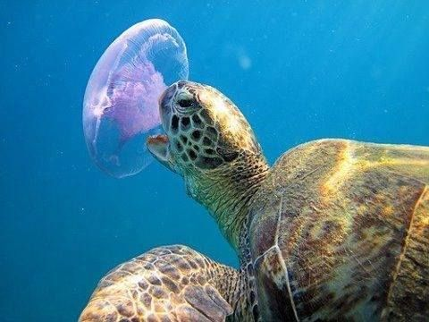 Moon jellyfish facts all five oceans for All fish diet
