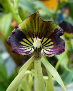 Orchidée coquillage - Orchidée pieuvre - Orchidée noire - Prosthechea cochleata - Encyclia cochleata