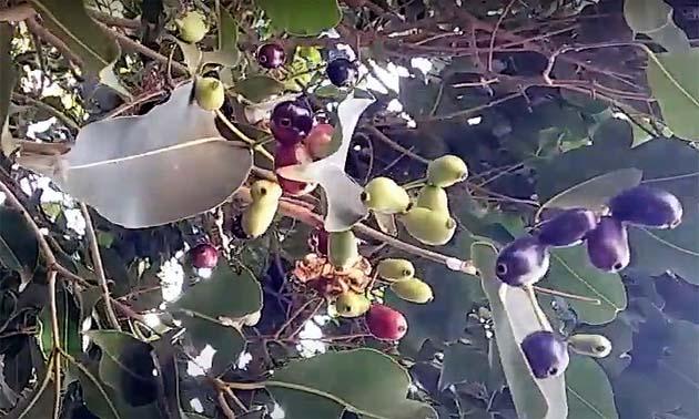 Jambolão (Syzygium jambolanum)