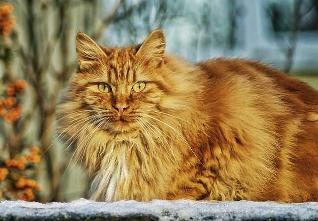 قطط الغابة النرويجية Norwegian forest cat